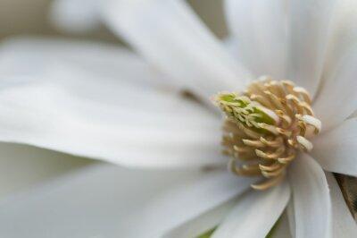 Naklejka Biały kwiat magnolii szczegóły