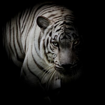 Naklejka Biały tygrys samodzielnie na czarnym tle