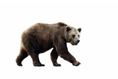 Naklejka Big brown bear isolated on white background.