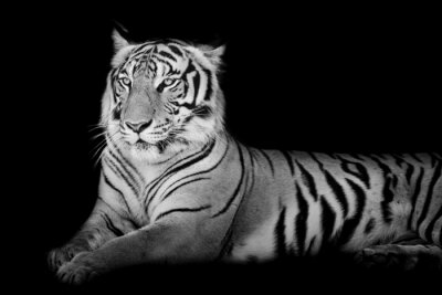 Naklejka Black and White Grand Tiger