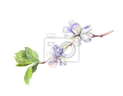 Blooming białe kwiaty wiśniowe drzewo, japoński sakura, akwarela