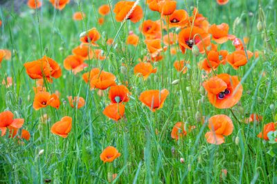 Blooming Poppies field. Wild poppies (Papaver). Spring flower nature background
