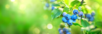 Naklejka Blueberry plant. Fresh and ripe organic Blueberries growing in a garden. Healthy food. Agriculture. Wide screen