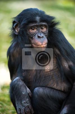 Bonobo szympans