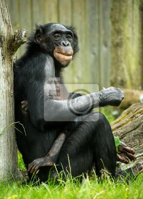 Naklejka Bonobo szympans