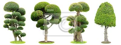 Naklejka Bonsai drzewa odizolowywający na białym tle. Jego krzew jest uprawiany w doniczce lub drzewie ozdobnym w ogrodzie.