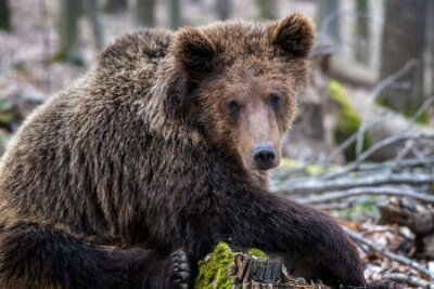 Naklejka Brown bear in the forest up close. Wildlife scene from spring nature. Wild animal in the natural habitat