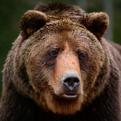 Naklejka Brown bears in the wild, a large mammal after hibernation, a predator in the wild forest and wildlife. new