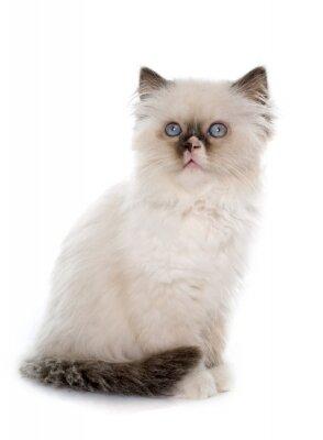 Naklejka Brytyjski długowłosy kociak