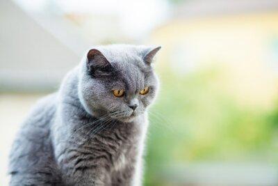 Naklejka Brytyjski kot patrząc w dół