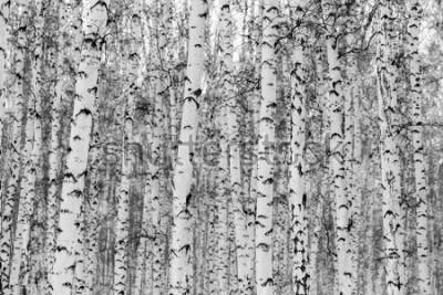 Naklejka Brzozowy czytaj zimowy krajobraz, czarno-białe zdjęcie