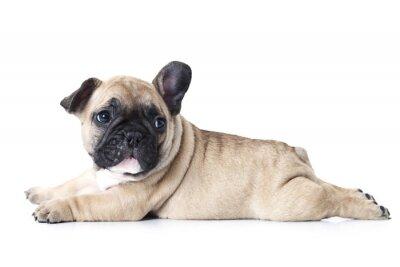 Naklejka Buldog francuski puppy leżącego na białym tle