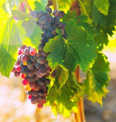 Naklejka  bunch of grapes at vineyards plant