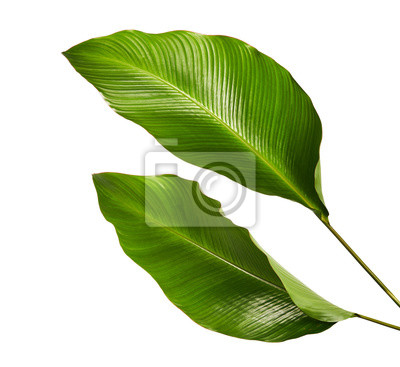 Naklejka Calathea ulistnienie, Egzotyczny tropikalny liść, ampuła zielony liść, odizolowywający na białym tle z ścinek ścieżką