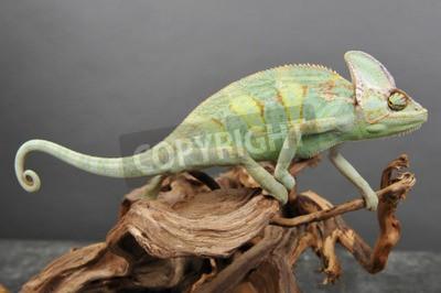 Naklejka Cameleon lub Chamaeleonidae