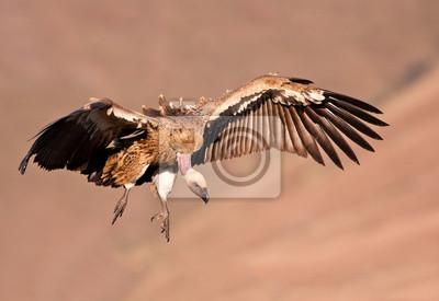 Cape Vulture pływające