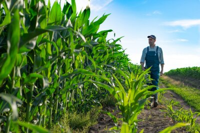 Naklejka Caucasian calm male maize grower in overalls walks along corn field with tablet pc in his hands