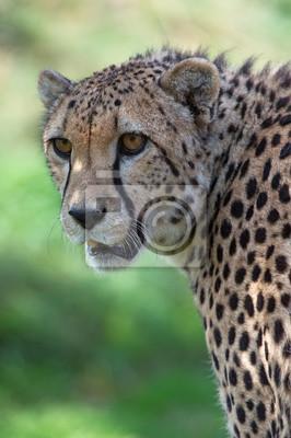 Cheetah (A. jubatus) / Gepard głowa i ramiona portret na tle tętniącego życiem zielonej trawie