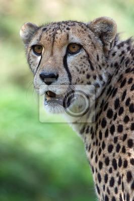 Naklejka Cheetah (A. jubatus) / Gepard głowa i ramiona portret na tle tętniącego życiem zielonej trawie