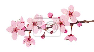 Naklejka Cherry blossom branch, sakura flowers isolated on white background