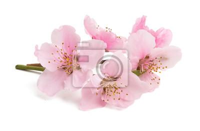 Naklejka Cherry blossom, sakura flowers isolated