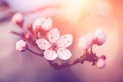 Naklejka Cherry blossoms