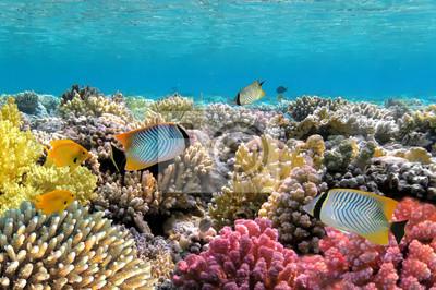 Naklejka Chevron butterflyfish