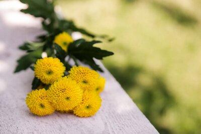 Chrysanthemum Santini in gelb