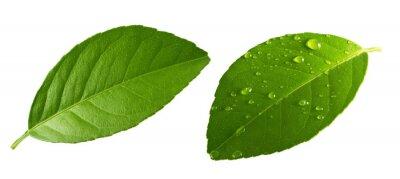 Naklejka Citrus Lemon leaf with drops isolated on white background