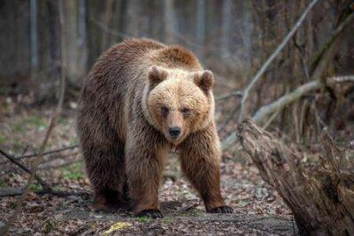 Naklejka Close up big brown bear in spring forest