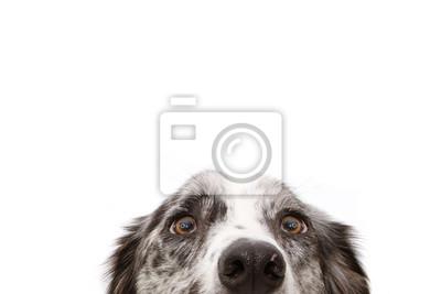 Naklejka Close-up  blue merle border collie dog eyes. Isolated on white background.