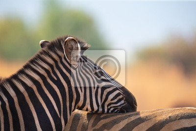 Close-up of a zebra portrait looking over the back of a mate