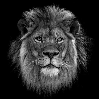 Naklejka Close-up Of Lion Against Black Background