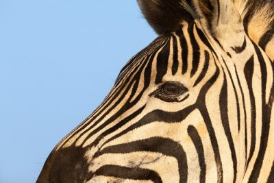 Naklejka Close-up portrait of a zebra in nature with dark stripes