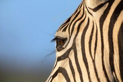 Close-up portrait of a zebra in nature with dark stripes