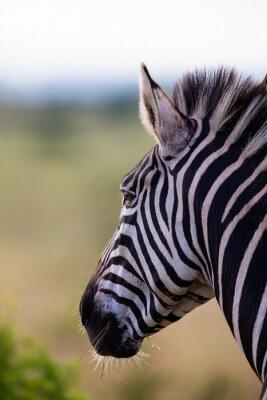 Naklejka Close-up portrait of a zebra in nature with dark stripes