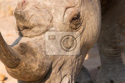 Close-up z głową nosorożca białego z pomarszczonej skóry twardej