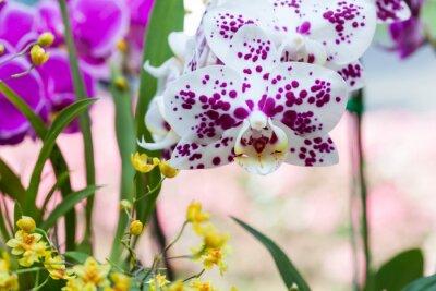 Naklejka Close-up z pięknej różowej orchidei żywe
