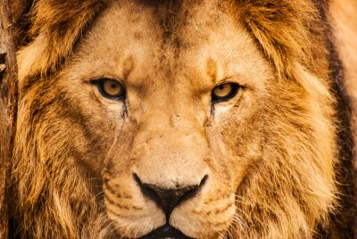 Naklejka Closeup portret lwa afrykańskiego