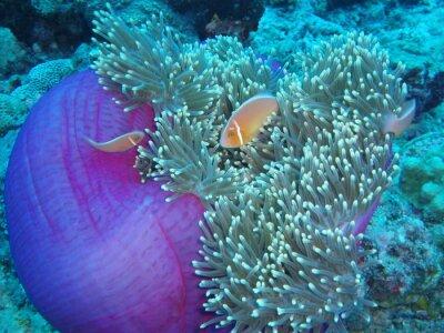 Naklejka Clownfish i zawilec