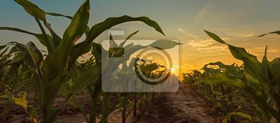 Naklejka Corn field in sunset