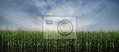 Naklejka Corn Field ready to be Harvested