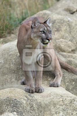 Naklejka Cougar (Puma kalifornijska) / Cougar stoi gotowy na dużych gładkich szarych skał
