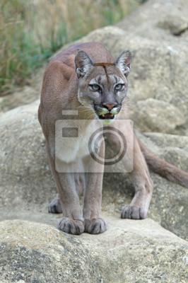 Cougar (Puma kalifornijska) / Cougar stoi gotowy na dużych gładkich szarych skał