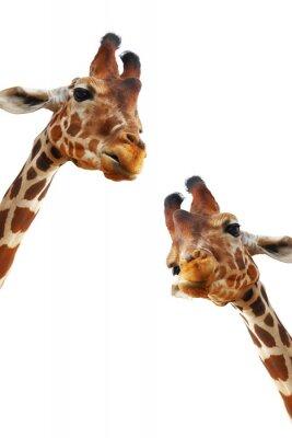 Naklejka Couple of giraffes closeup portrait isolated on white background
