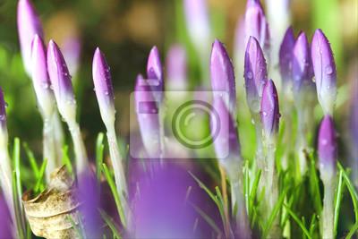 Crocus kwiaty