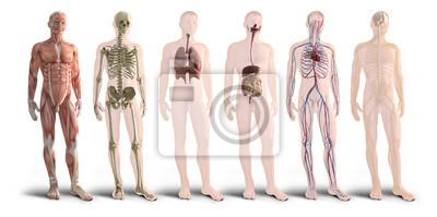 Naklejka Cyfrowy render 3d narządów ludzkiego ciała