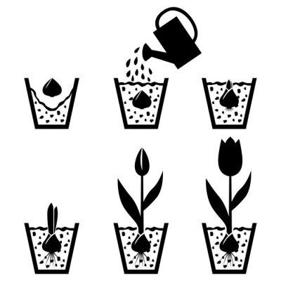 Naklejka cykl wzrostu tulipan w doniczce