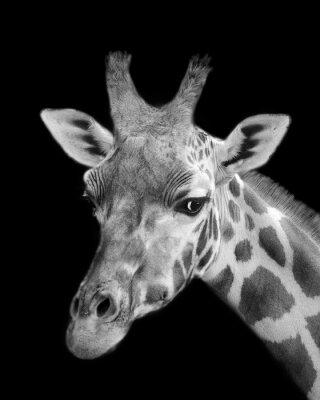 Naklejka Czarno-biały portret żyrafa