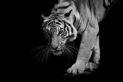 Naklejka czarno-biały tygrys idzie krok po kroku samodzielnie na czarnym backg